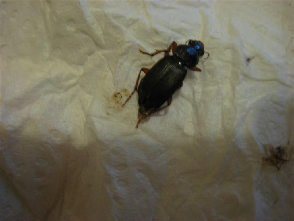 Aiuto ad identificare insetto strisciante pestforum - Insetti neri in casa ...