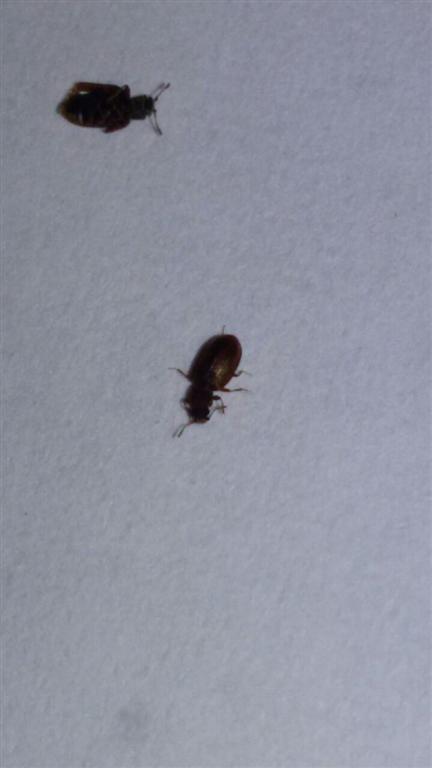 Minuscoli insetti marroni sulla parete della camera pestforum - Insetti piccolissimi neri nel letto ...