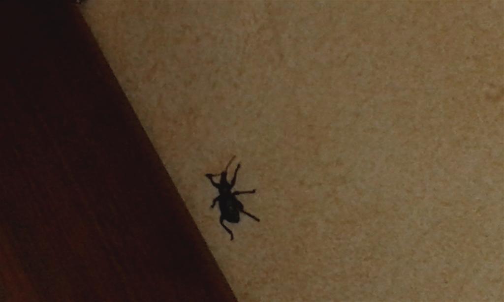 Identikit insetto aiuto pestforum - Insetti neri in casa ...