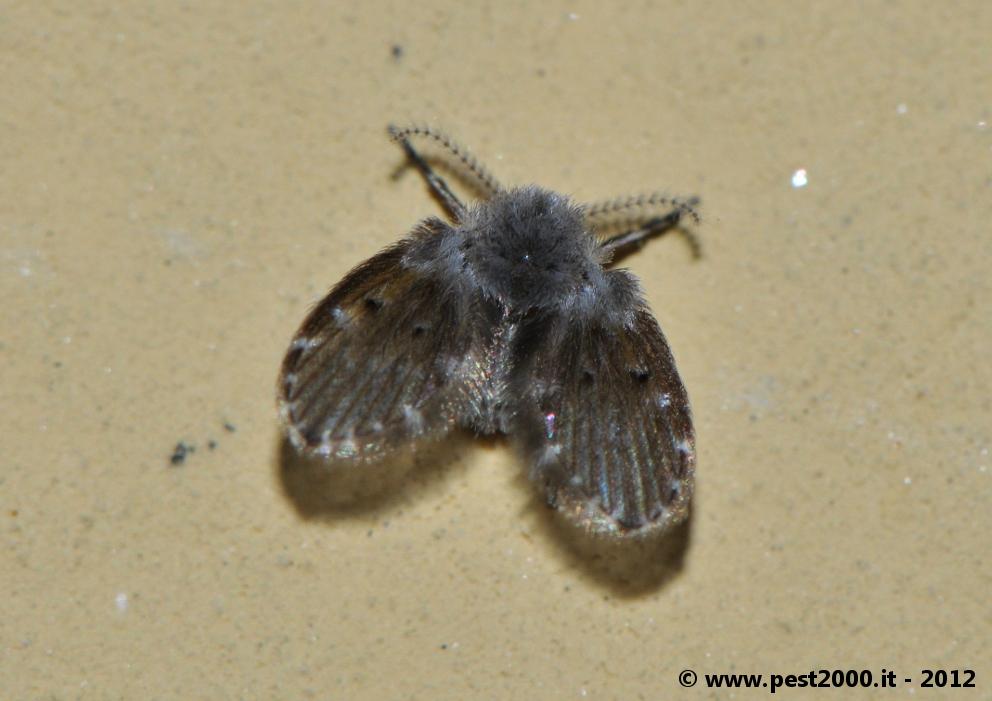 Aiuto per favore insetti minuscoli non identificati con ali pestforum - Insetti piccolissimi neri nel letto ...