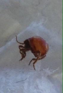 Piccoli insetti rossi chi li conosce pestforum - Piccoli insetti in casa ...
