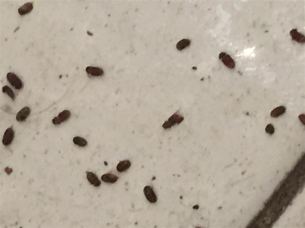 Piccoli insettini scuri in cucina pestforum