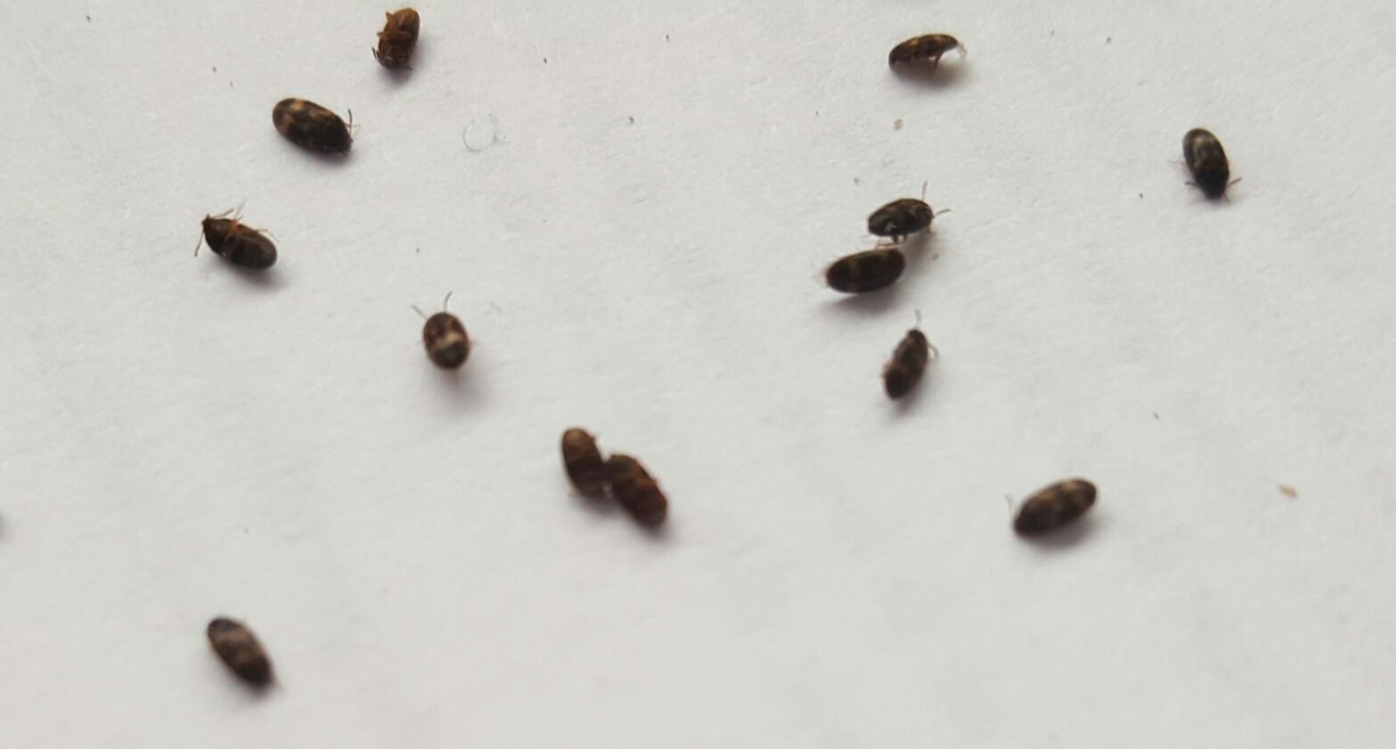 Piccoli insetti neri volanti in casa 28 images piccoli insetti volanti insetti piccoli e - Insetti neri in casa ...