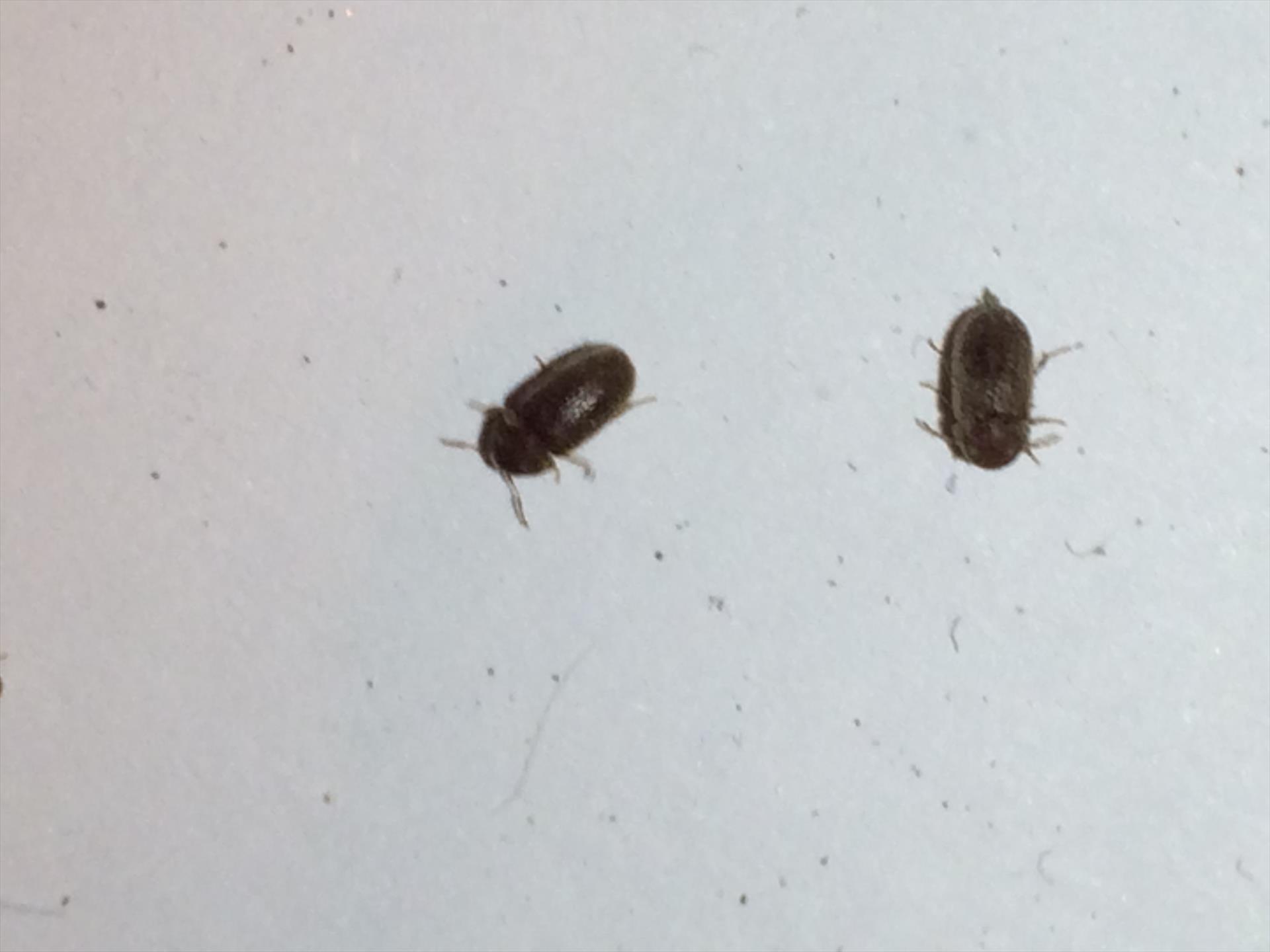 Animaletti neri che volano - Piccoli insetti in casa ...