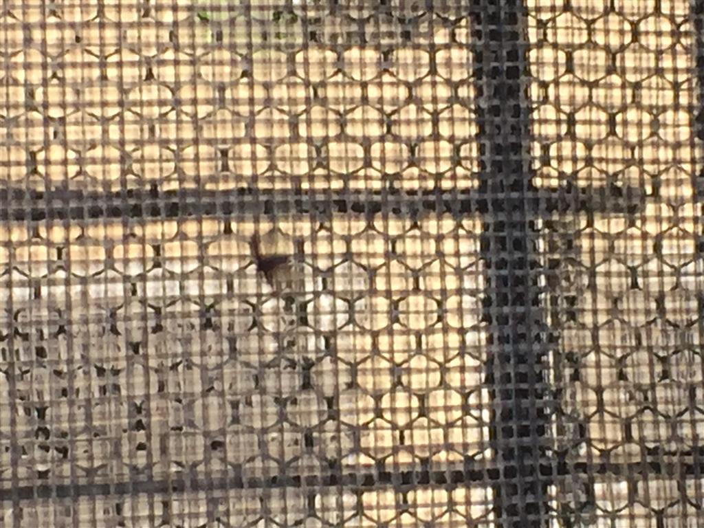 Insetti Bianchi Sul Parquet insetti sconosciuti (tarli del legno?)