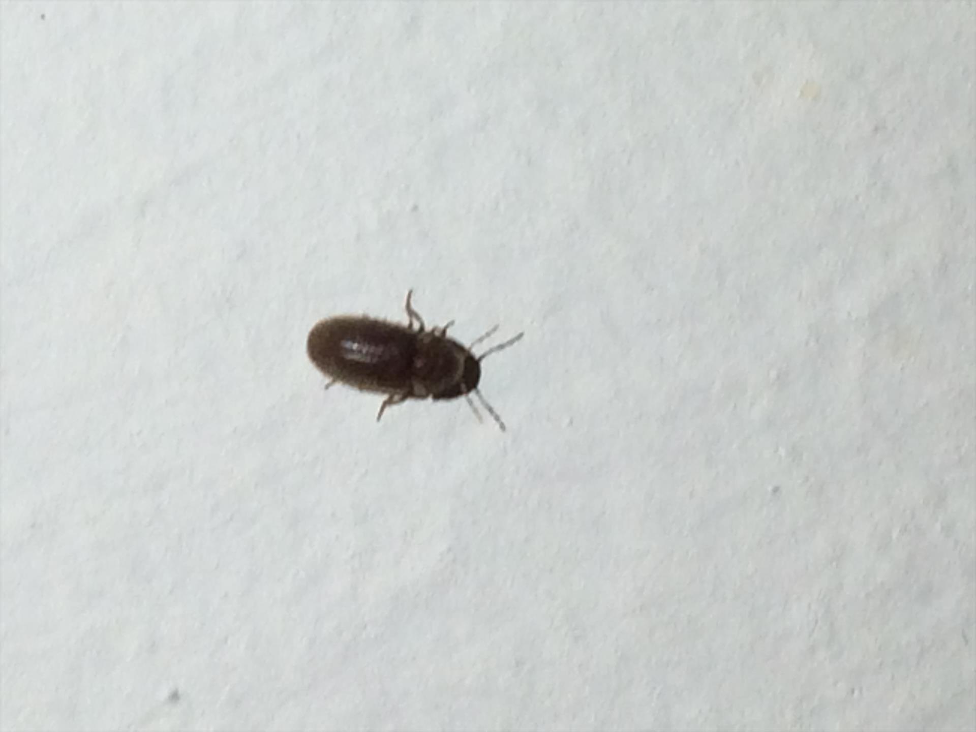 Piccoli Scarafaggi In Cucina gli insetti infestano la cucina dellasilo scatta la